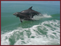 Wild bottle nosed dolphins